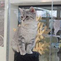 British Shorthair avec pedigree