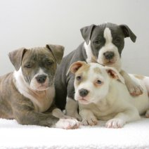 Stoere American Staffordshire Terrier pups te koop - Robustes American Staffordshire Terrier