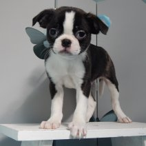 Boston Terrier X Epagneul Japonais
