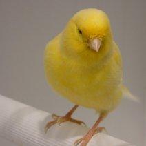 Welp Kanarie te koop - Uw dierenwinkel in Zellik Brussel DK-65