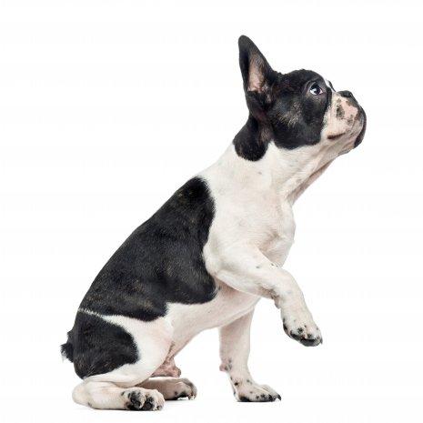 waar vind ik franse bulldog pups te koop? onze pups bij dogcatandco