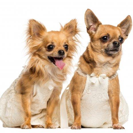 Waar vind ik chihuahua pups te koop met paspoort for Een doosje vol geluk waar te koop