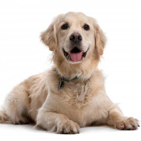 Golden retriever4