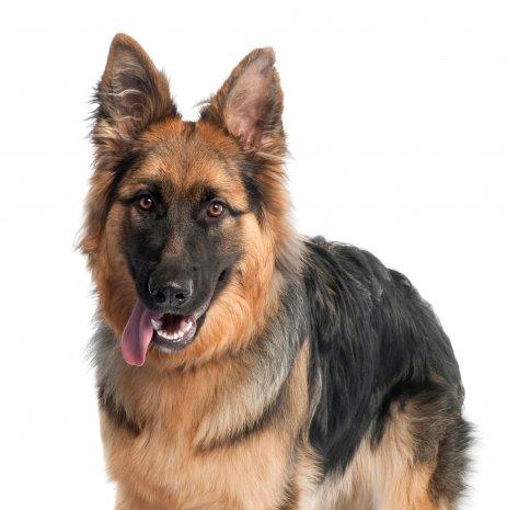 Waar vind ik duitse herder pups te koop dogcatandco for Een doosje vol geluk waar te koop