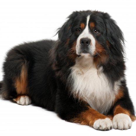 waarom mijn berner sennen pup kopen bij dogcatandco. Black Bedroom Furniture Sets. Home Design Ideas