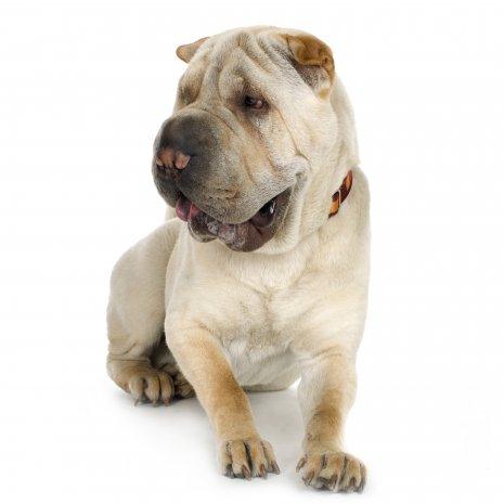 Comment choisir un Shar Pei d'élevage ? - DogCatandCo