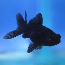 Poisson rouge Black moor