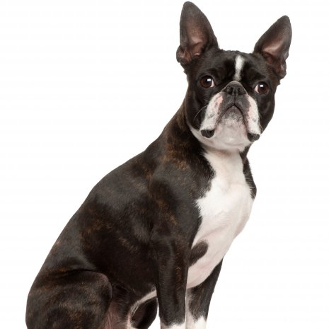 boston terrier.jpg