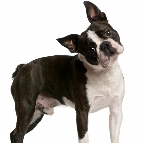 boston terrier3.jpg