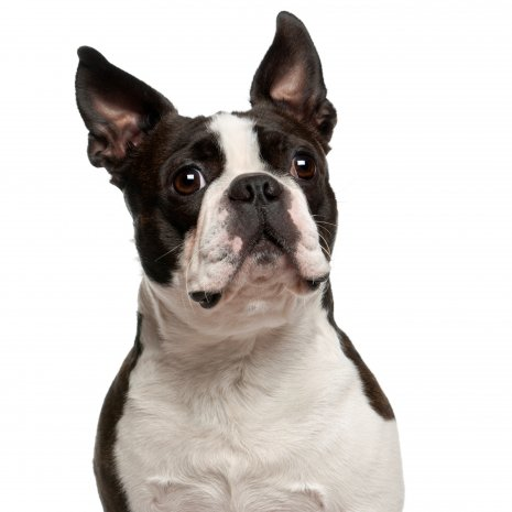 boston terrier4.jpg