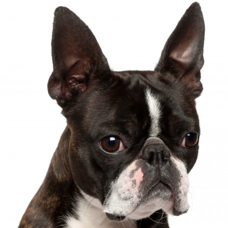 boston terrier2