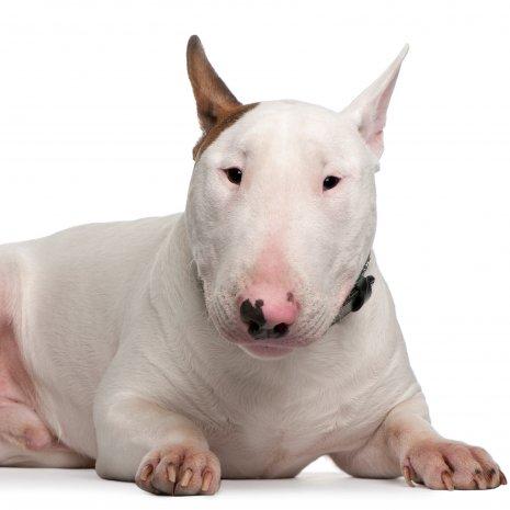 Comment Choisir Un Bull Terrier D Elevage Dogcatandco