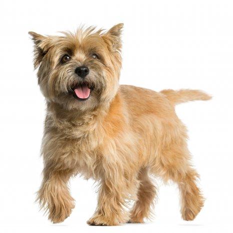 Quel Est Le Meilleur Elevage De Cairn Terrier Dogcatandco