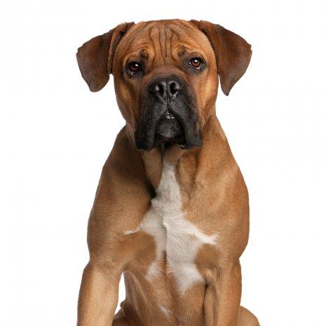 Où Acheter Un Cane Corso Issu Délevage Agrée Dogcatandco