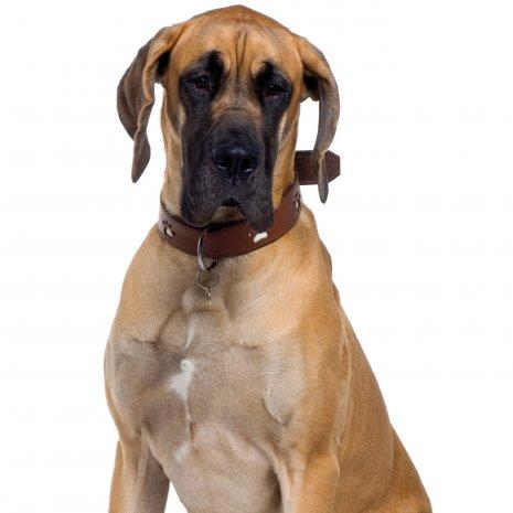 Quel Est Le Meilleur Elevage De Dogue Allemand Dogcatandco