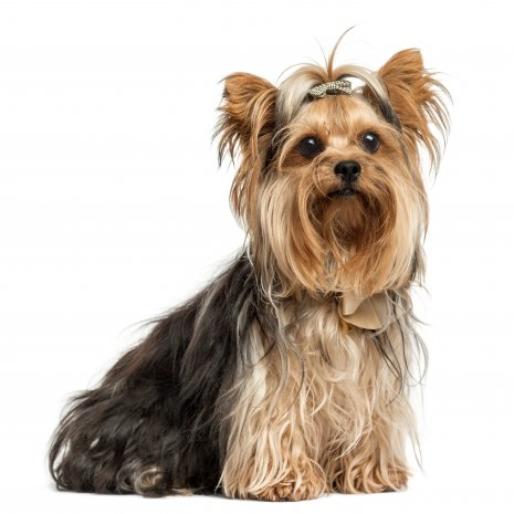 Ou Acheter Un Yorkshire Terrier Toy Issu D Elevage Agree