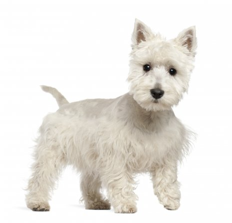Wes Highland White terrier (7).jpg