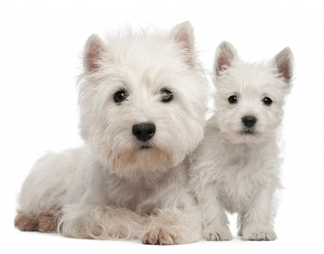 Wes Highland White terrier (1)