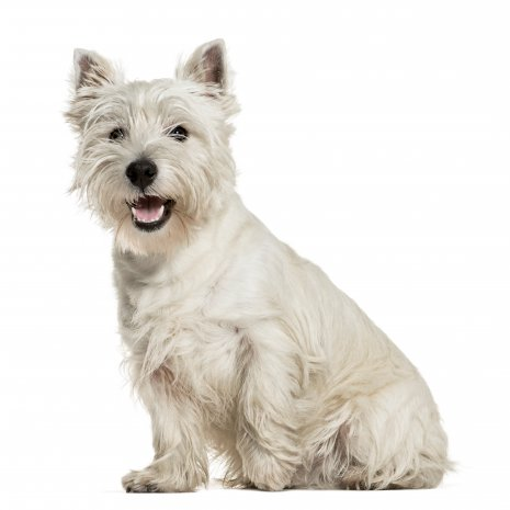 Wes Highland White terrier (4)
