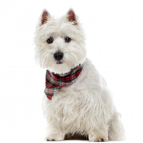 Wes Highland White terrier (5)