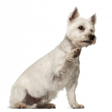 Wes Highland White terrier (6)