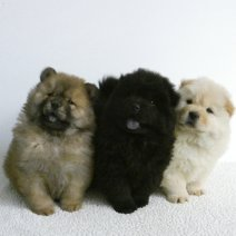 Lieve Chow Chow pups te koop - Adorables Chow chow