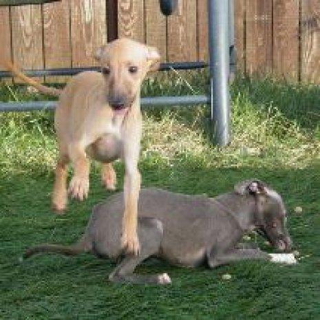 où trouver des élevages de levrier italien? - dogcatandco