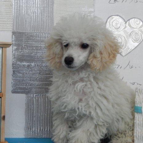78161f86c3d Waar kan ik een Poedel Toy pup kopen? – DogCatandCo