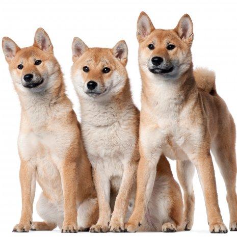 quel est le meilleur élevage de shiba inu? - dogcatandco