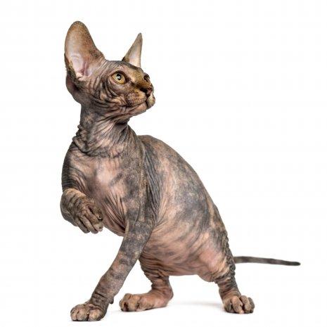 Quatang Gallery- Waarom Mijn Sphynx Kitten Kopen Bij Dogcatandco