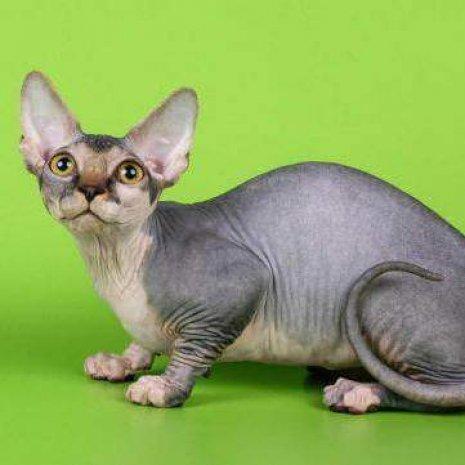 Quatang Gallery- Waar Kan Ik Een Bambino Sphynx Kitten Kopen Dogcatandco