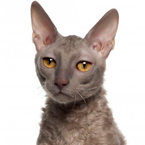 Betere Waar vind ik Cornisch Rex kittens te koop? – DogCatandCo ZV-41