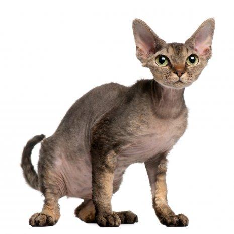 Spiksplinternieuw Waar vind ik Devon Rex kitten te koop? DogcatandCo XD-71