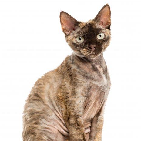 Verbazingwekkend Waar vind ik Devon Rex kitten te koop? DogcatandCo MM-61