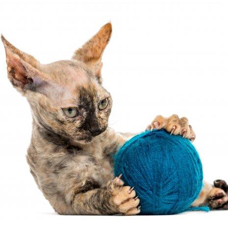 Super Waar vind ik Devon Rex kitten te koop? DogcatandCo KP-73
