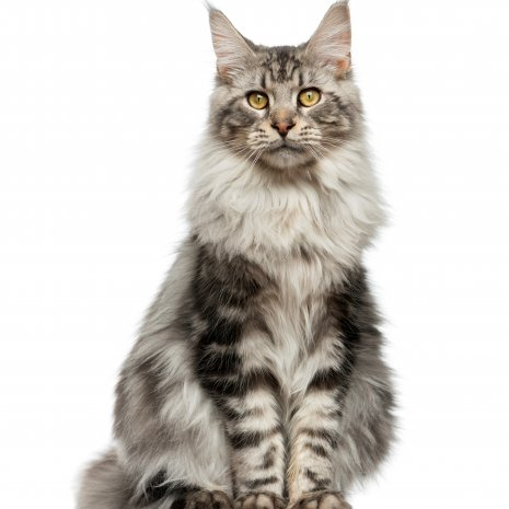 Uitgelezene Waar kan ik een Main Coon kitten kopen? – DogCatandCo HG-19