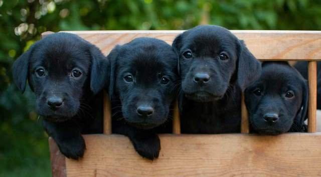 Pourquoi Choisir Un Chiot Dans L Elevage Labrador Dogcatandco