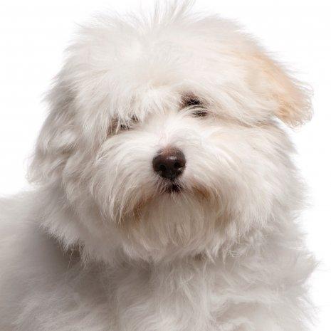 Pourquoi Acheter Un Chiot Coton De Tulear Dogcatandco
